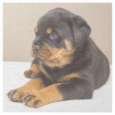 Cute rottweiler puppy gallery wrap - dog puppy dogs doggy pup hound love pet best friend