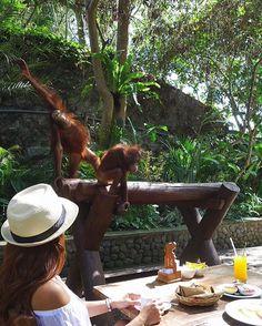 Breakfast with Orangutans @balizoo  seneng n seru banget makan pagi sama orangutan  tingkahnya gemesin banget bikin ga mau pulang, sambil menyantap makan pagi yg super enak, bisa pelukan n bercanda sama mereka, kalian cobain deh pengalaman yg menyenangkan hanya ada di @balizoo