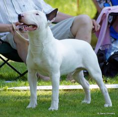 #english bull terrier #bull terrier #dog