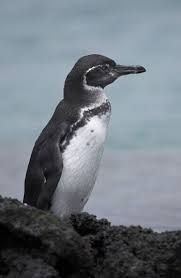 Galapagos Penguin - this could be Spock ❤️ Penguin Images, Penguin Pictures, Penguin Love, Penguin Parade, Booby Bird, Galapagos Penguin, Emperor Penguin, Flightless Bird, Equador