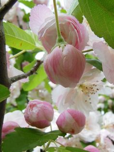 Apple blossoms - Hopefully get to see in DC in the next week or two!