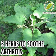 5 Herbs to Help With Arthritis Pain