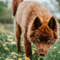 An Extremely Rare Fully Chocolate (Brown) Siberian Husky