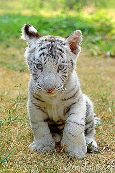 Witte tijger baby