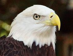 Bald Eagle, Eagle, Nature, Bird