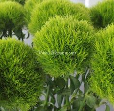 Green Dianthus Flowers also known as Green Tick Dianthus Carnations or Green Tick Dianthus Flower Ball