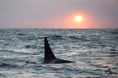 Norwegian Orca Survey