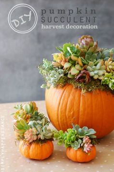 Pumpkin Succulents Tutorial: No-fuss succulents make them the perfect plant to showcase on your dinner table. Bonus: The green totally pops against the bright orange pumpkins.