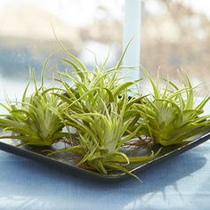 How to Grow Air Plants Air plants: mist every few days. Once a week, soak it in water for about 20 minutes. Can get away with less watering in hang in bathroom or some other humid spot.