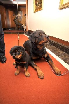 I want a Rottweiler one day.