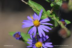 Symphyotrichum patens - Late Purple Aster, Spreading Aster.