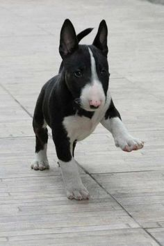 This English Bull Terrier Puppy looks just like my dog, Dogen! For those interested, The English Bull Terrier is a breed of dog in the terrier family. most recognisable feature is its head, described as 'egg shaped' when viewed from the front, the top of the skull is almost flat from ear to ear. Profile […]