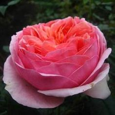 Coral Garden Rose kristen pontoriero (klamonica) on pinterest
