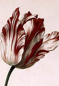 The Garden of Eaden: TULIP 'SEMPER AUGUSTUS' - DOES IT STILL EXIST?