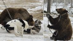 Young bear chained to tree as it is attacked by dogs! Stop baiting contests in Russia!   YouSignAnimals.org