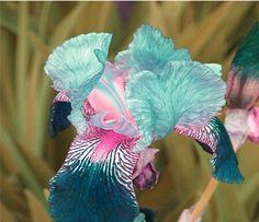 free ship Sale! , hot selling ,40 pink Iris Seeds, popular perennial garden flower ,gorgeous cut flower