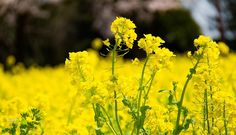 #winter #winterflowers #wintergram  #flowerstalking #wp_flower #菜の花