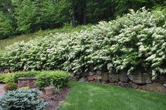 Viburnum for Hedge
