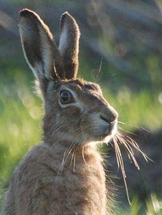 hare-head01pm.jpg 360×480 pixels