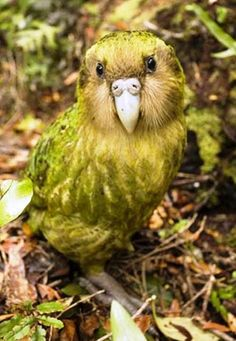 This chubby little bird is called the Kakapo-the worlds only flightless parrot. There is a great you tube video with Stephen Fry, a naturalist and an encounter with a kakapo. Flightless Parrot, Kakapo Parrot, Rare Birds, Exotic Birds, Colorful Birds, Pretty Birds, Beautiful Birds, Animals Beautiful, Amazing Animals