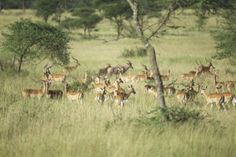 Our best-seller tour to discover wildlife and landscapes of the country – The best of all safaris in Tanzania Type: Safaris in Tanzania, accommodation in lodges or bivouac with private vehicle an… Safari, Lodges, This Is Us, Wildlife, Chauffeur Privé, Tours, Circuit, Park, Vehicle