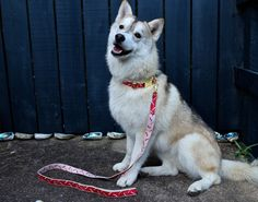 Lookbook – Wolves of Wellington - Life of the Party #Dog #NewZealand #DogCollar #DogLead #Husky