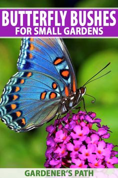 butterfly garden Want to attract more monarchs to your backyard Plant butterfly bushes and other flowering annuals and perennials! Read this handy guide now from Gardeners Path to find out what varieties are available. Butterfly Garden Plants, Plants That Attract Butterflies, Butterfly Feeder, Butterfly Bush, Butterfly Flowers, Monarch Butterfly, Flowers Garden, Beautiful Butterflies, Purple Flowers