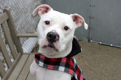 "LOLA - A1099853 - - Manhattan  Please Share:TO BE DESTROYED 12/27/16  A volunteer writes: ""My name is Lola. And I'm a showgirl."" Certainly no one would question that coming from 1.5 year-old Lola. She is winter's perfect poster pup with her snowy white coat and black, button nose. All she's missing is a Christmas cap and a holiday scarf to fit in perfectly on Santa's sleigh. Yes, miss Lola's cuteness is obvious to everyone. Includin"