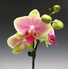 "Doritaenopsis Jiaho Kitty Face ""Rainbow"" - the ever popular kitty face orchid.."