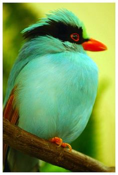Green Magpie @ Bird House DC Zoo by albolivarphoto on Flickr.