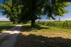 Viale tra le vigne - Pics taken during one of my bike trip near city of Asolo. Seeing the historical Villa Barbaro in Maser built by Andrea Palladio in 1500's and the surrounding vineyard and winery