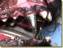 Cast metal alloy, full coverage crowns in a Schutzhund dog placed to prevent wear from bite sleeve training.