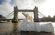 2009: A sculpture of a polar bear and cub on a melting iceberg is floated down the Thames River in London bringing awareness to climate change / global warming and the imperiled habitat of the polar bear.