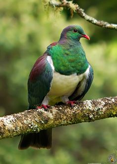 New Zealand Pigeon/ Kererū/ Kūkupa/ Kūkū/ New Zealand Wood Pigeon Nature Animals, Animals And Pets, Cute Animals, Nature Research, Wood Pigeon, Kinds Of Birds, Wild Birds, Amazing Cars, Beautiful Birds