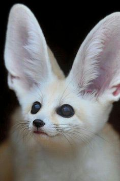Fennec fox...the smallest foxes in the world have enormous ears to cool them down as they traverse sand dunes in the Sahara, where they are common.