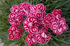 Heirloom 400 Seeds Dianthus Barbatus Carnation Sweet William Heirloom Mix Flower Seeds S045, $1.79
