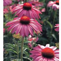 coneflowers form low growing clumps of leaves from which the sturdy flower stems launch upwards with their large, rose-pink daisies. Unlike many varieties, the petals of Echinacea purpurea 'Primadonna' radiate outwards instead of downwards from a deep orange-brown central cone. With a compact, branching habit. Good for borders and wildlife gardens where it will attract butterflies and other pollinating insects. Height: 85cm Spread: 45cm