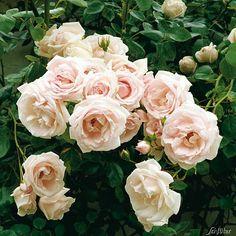 "Rose New Dawn Kletterrose """