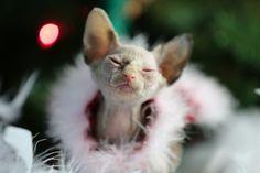 My Sphynx Kitten Meemer ♥ -- what a princess