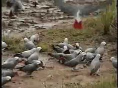 WIld African Greys Will Make You Catch Your Breath. And Your Heart.