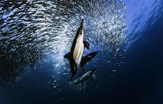 La carrera de las sardinas  Todos los años en las aguas del Océano Índico, entre los meses de invierno de mayo y julio, cientos de millones de sardinas desovan en el Cabode las Agujas y emigran después hacia el norte a lo largo de la costa este de Sudáfrica.