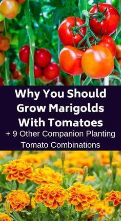 If you want to have the biggest and best tomatoes, consider companion planting. Here are ten plants that will help your tomatoes taste delicious. vegetable garden Why You Should Grow Marigolds With Tomatoes + 9 Other Companion Planting Tomato Combinations Growing Marigolds, Marigolds In Garden, Growing Sunflowers, Growing Tomato Plants, Flowers Garden, Companion Gardening, Tomato Companion Plants, Companion Planting Chart, Growing Tomatoes In Containers