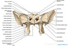 Hueso esfenoides: Yugo esfenoidal, Ala menor, Ala mayor, Apófisis pterigoides