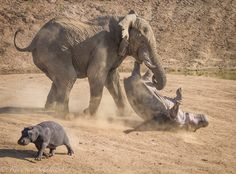 See you later mom!! A angry elephant bull flipping a full grown mother hippo trying to protect it's young. They soon re-united and both were...