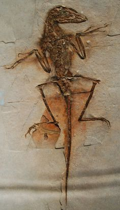 feathered dinosaur fossil - Google Search