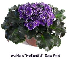 """Repotting african violets optimara everfloris: the only """"space violets"""" Landscaping Plants, Garden Plants, Indoor Plants, Violets, Tropical Plants, Plant Care, Plant Decor, Houseplants, Beautiful Gardens"""