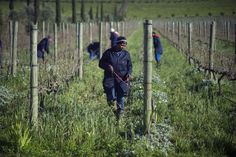 For many years, South Africa's blacks were excluded from wine-drinking, as well as wine-making. Now, companies like Seven Sisters are blazing a revolutionary trail.