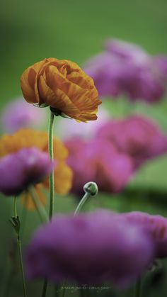 Poppies and/or ranunculus, since  I get confused sometimes.