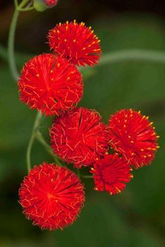 Tassel flower - red flowers