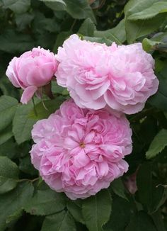 ~Portland Rose: Rosa 'Marchesa Boccella' AKA 'Jacques Cartier' (France, 1842)